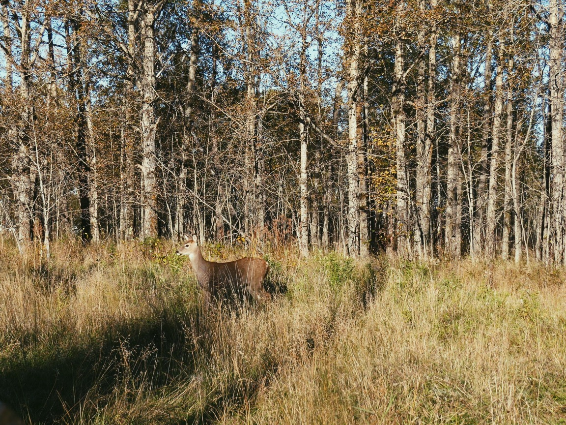 A deer in the grassy foreground with an autumnal forest in the background. Taken in Mission Marsh, Thunder Bay.