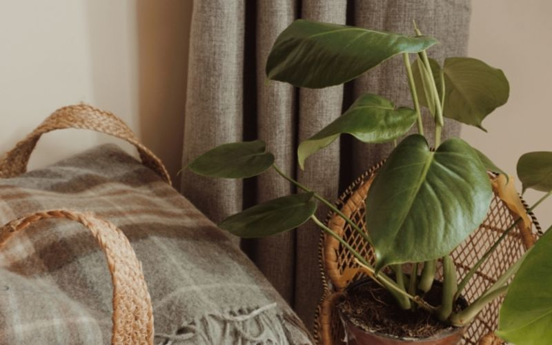 A plaid blanket in a jute basket with a tall monstera plant next to it
