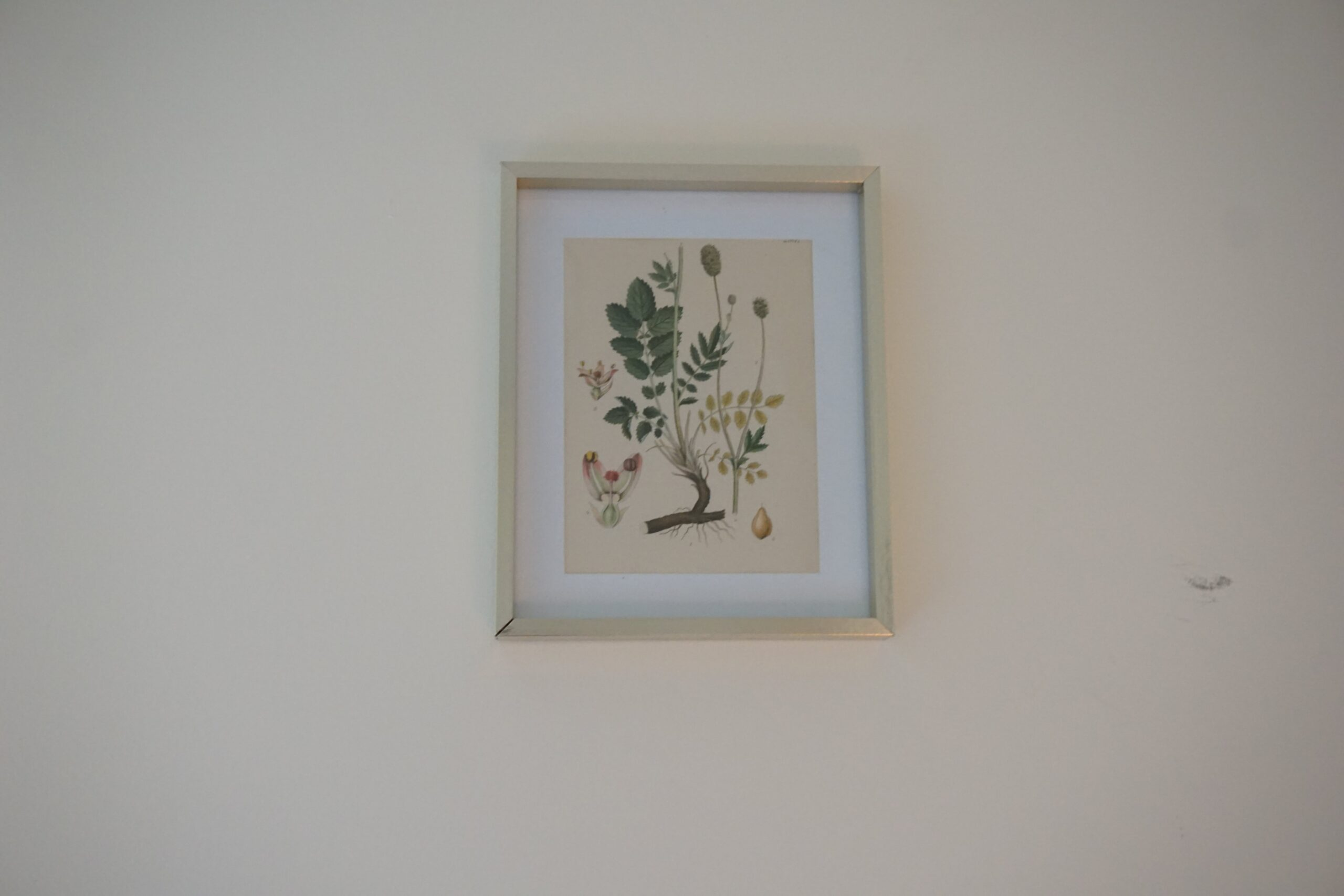 a vintage botanical print in a gold frame hanging on a beige wall